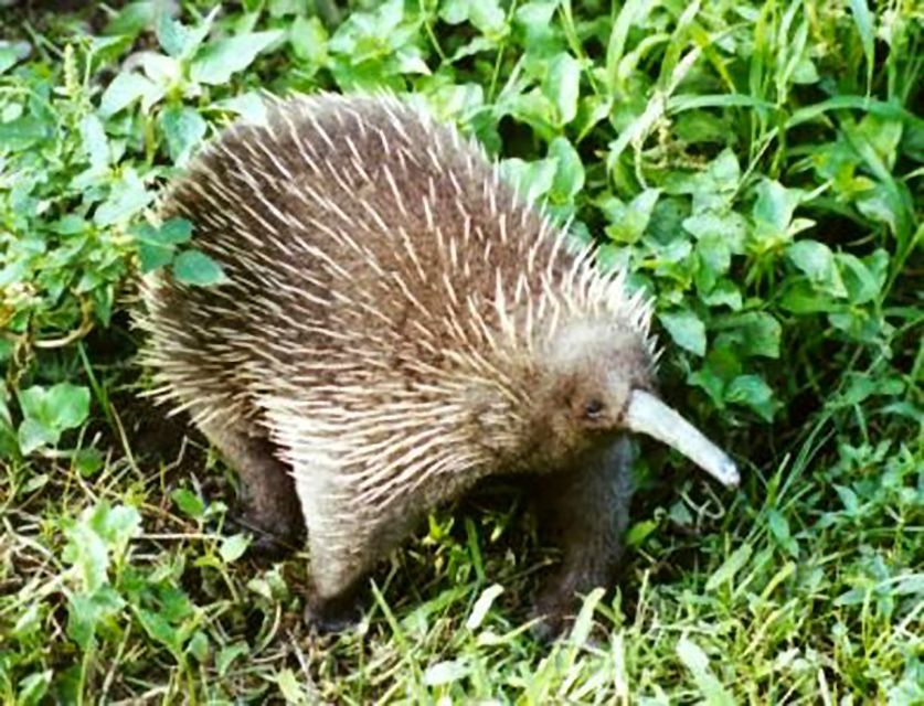 Western Long-Beaked Echidna with spines