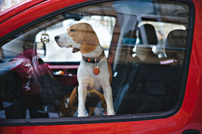 beagle dog in car with windows closed