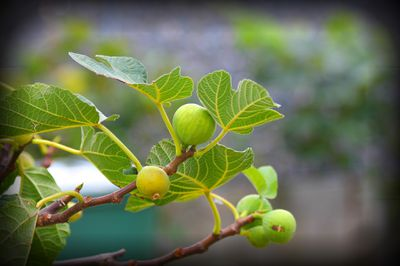 Close up photo of fruits on a fig tree.