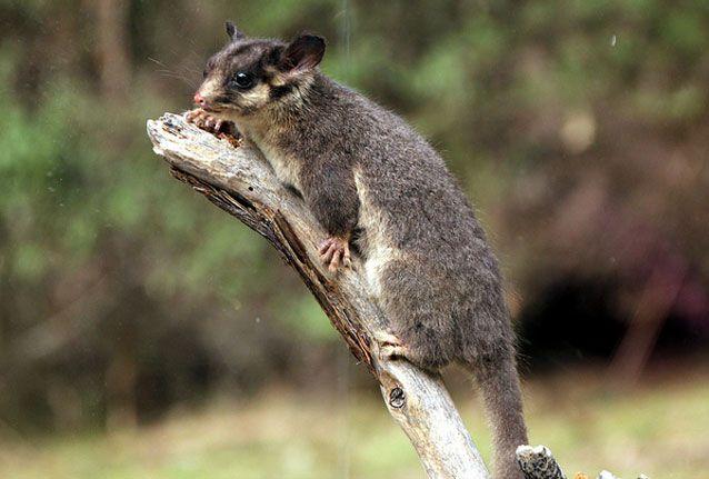 Leadbetter's possum on a branch