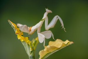 A Malaysian orchid mantis sits on a yellow flower.