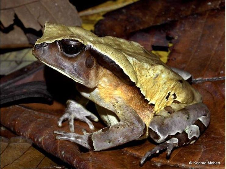This Savvy Toad Pretends To Be A Deadly Viper