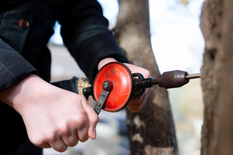 closeup hands drilling sugar tap into tree