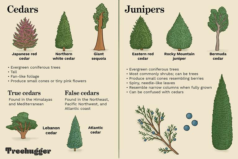 cedars vs juniper tree illustration