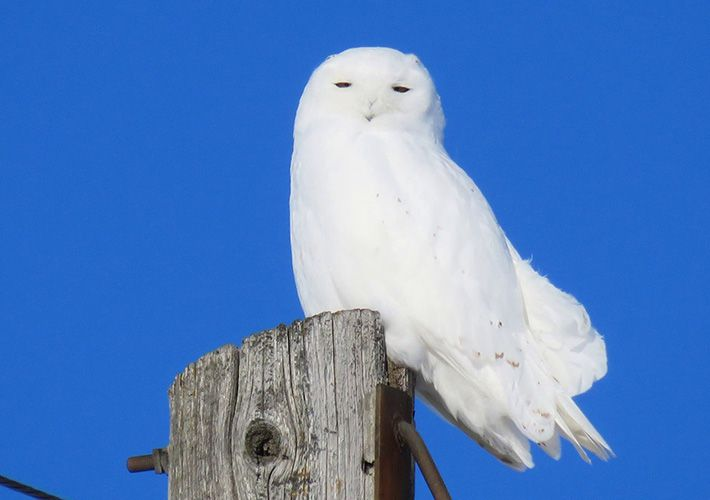 almost completely white male snowy owl on utility pole