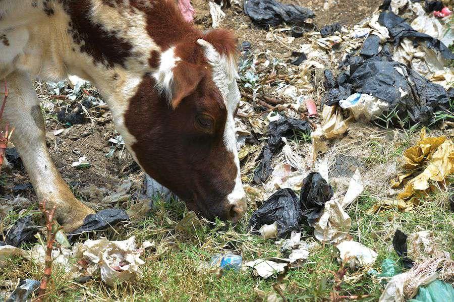 A cow sniffing through plastic bag waste outside of Nairobi, Kenya