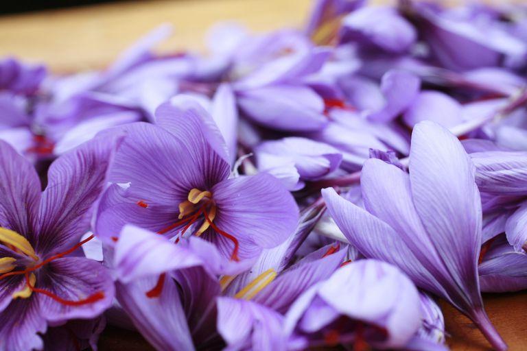 Harvested saffron flowers