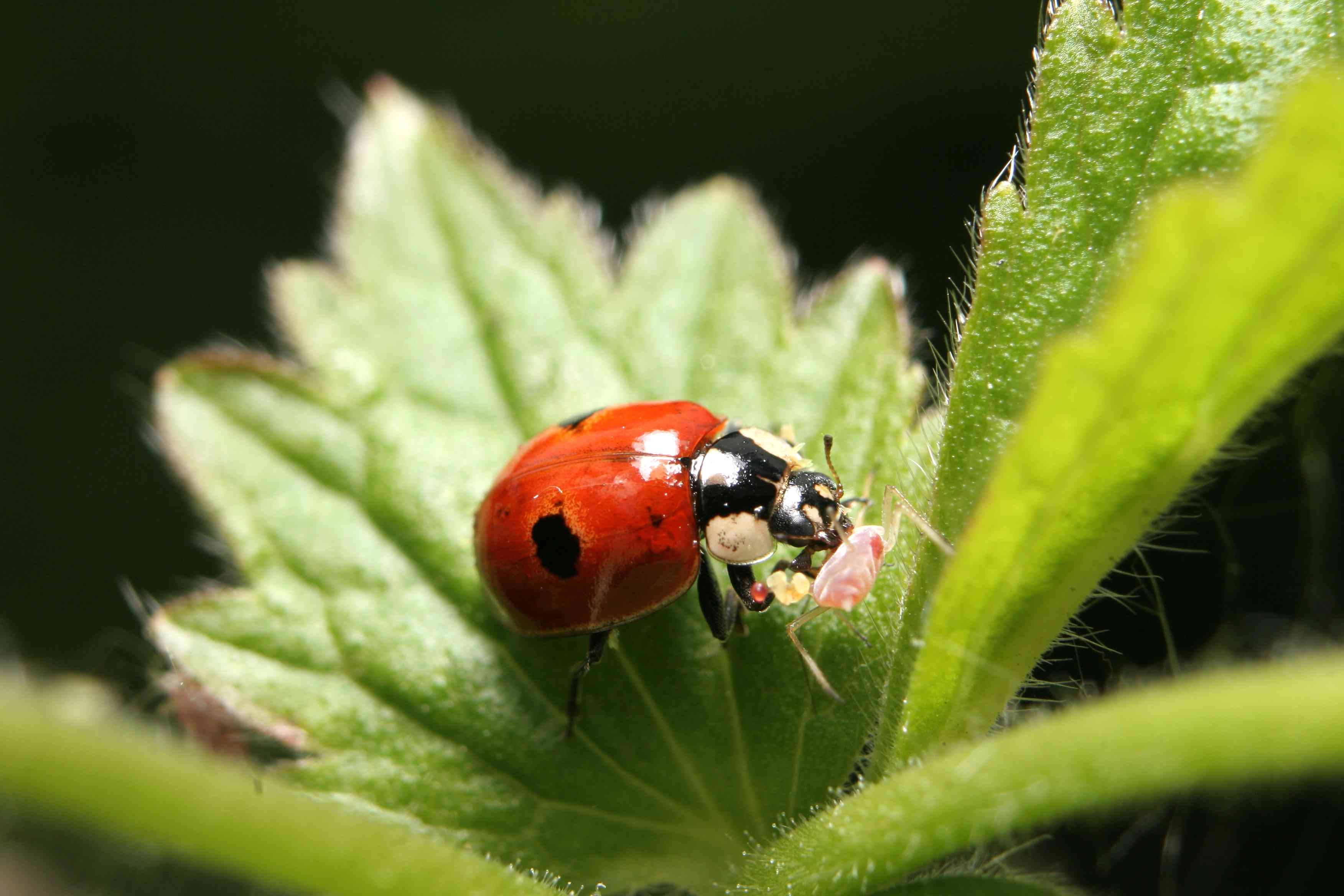 two-spotted lady bug, or lady beetle, eating an aphid