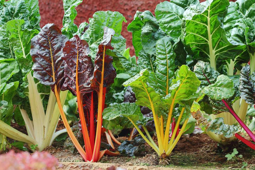 Red and green chard plants planted in a garden