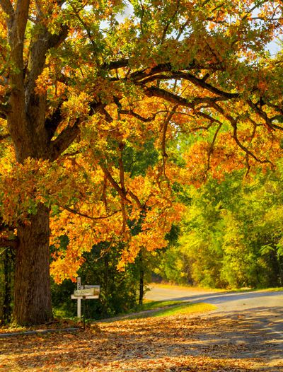Mailbox on a back road in Rural South Carolina in Autumn, Leaves of the oak tree are backlit by the bright morning sun.