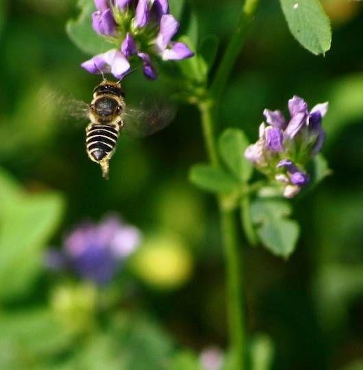 alfalfa leafcutter bee