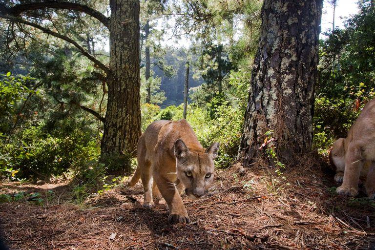 mountain lions in California