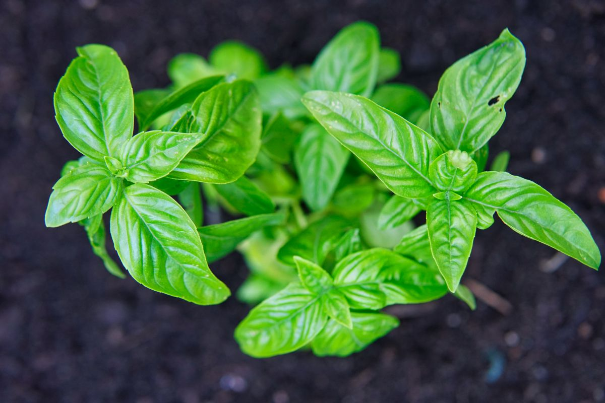 overhead shot of green basil growing from black dirt
