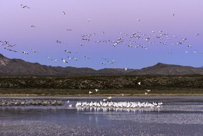 Flocks of snow geese and sandhill cranes at Bosque del Apache National Wildlife Refuge, New Mexico