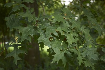 Detail shot of leaves on a Pin oak or Quercus palustris.