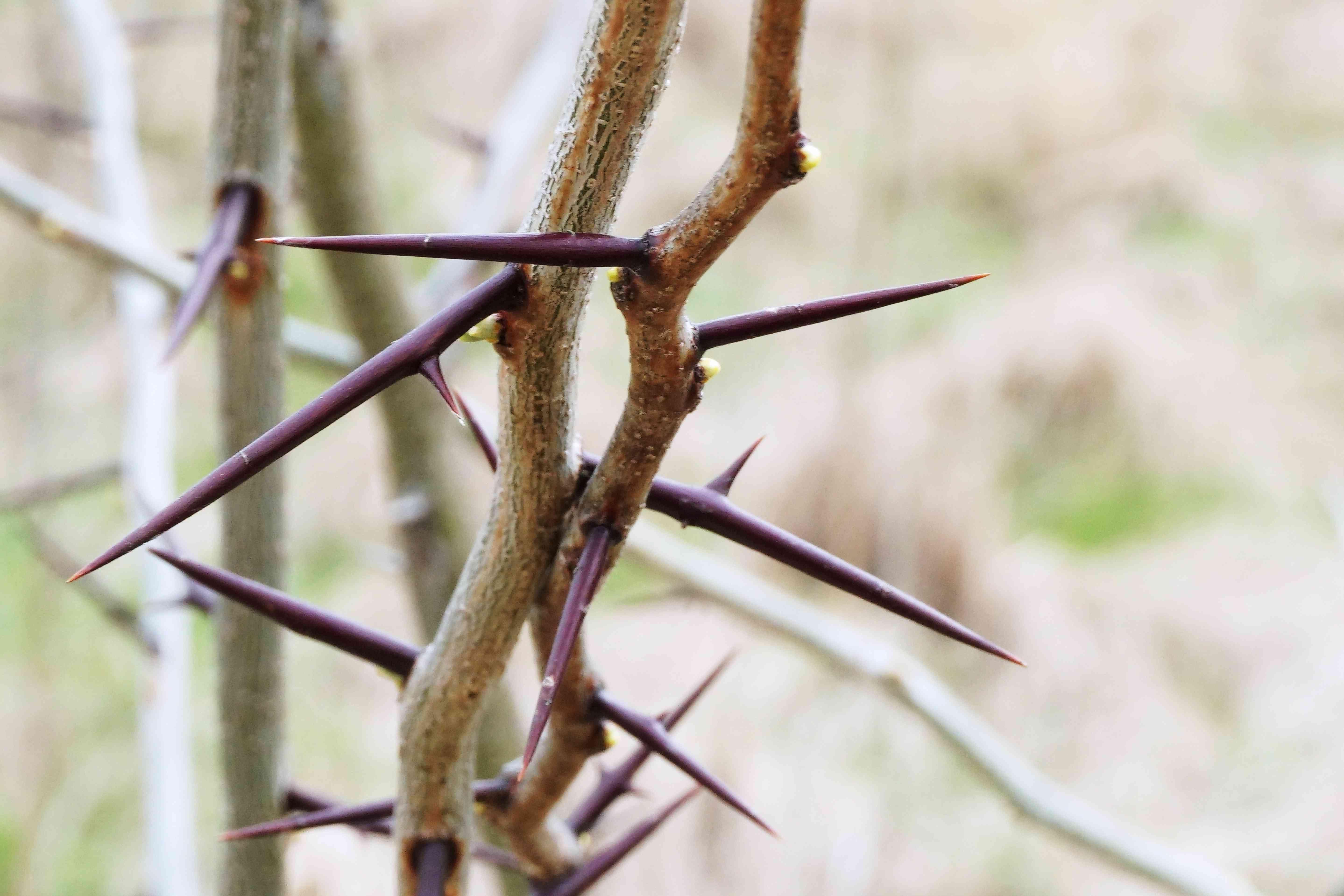 Thorns on the bark of the honey locust tree