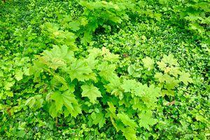Norway Maple Leaves