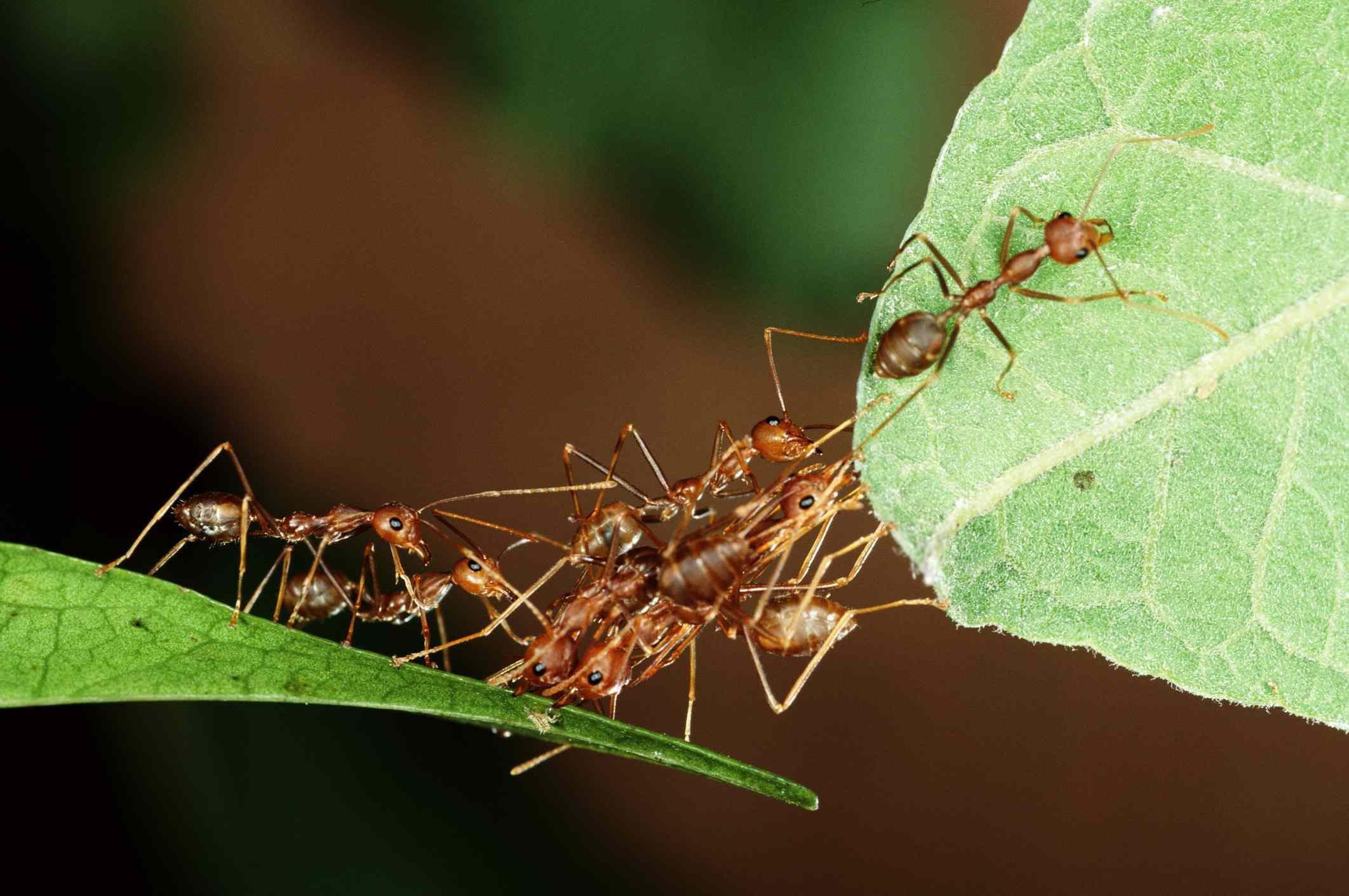 Weaver ants making a bridge across leaves