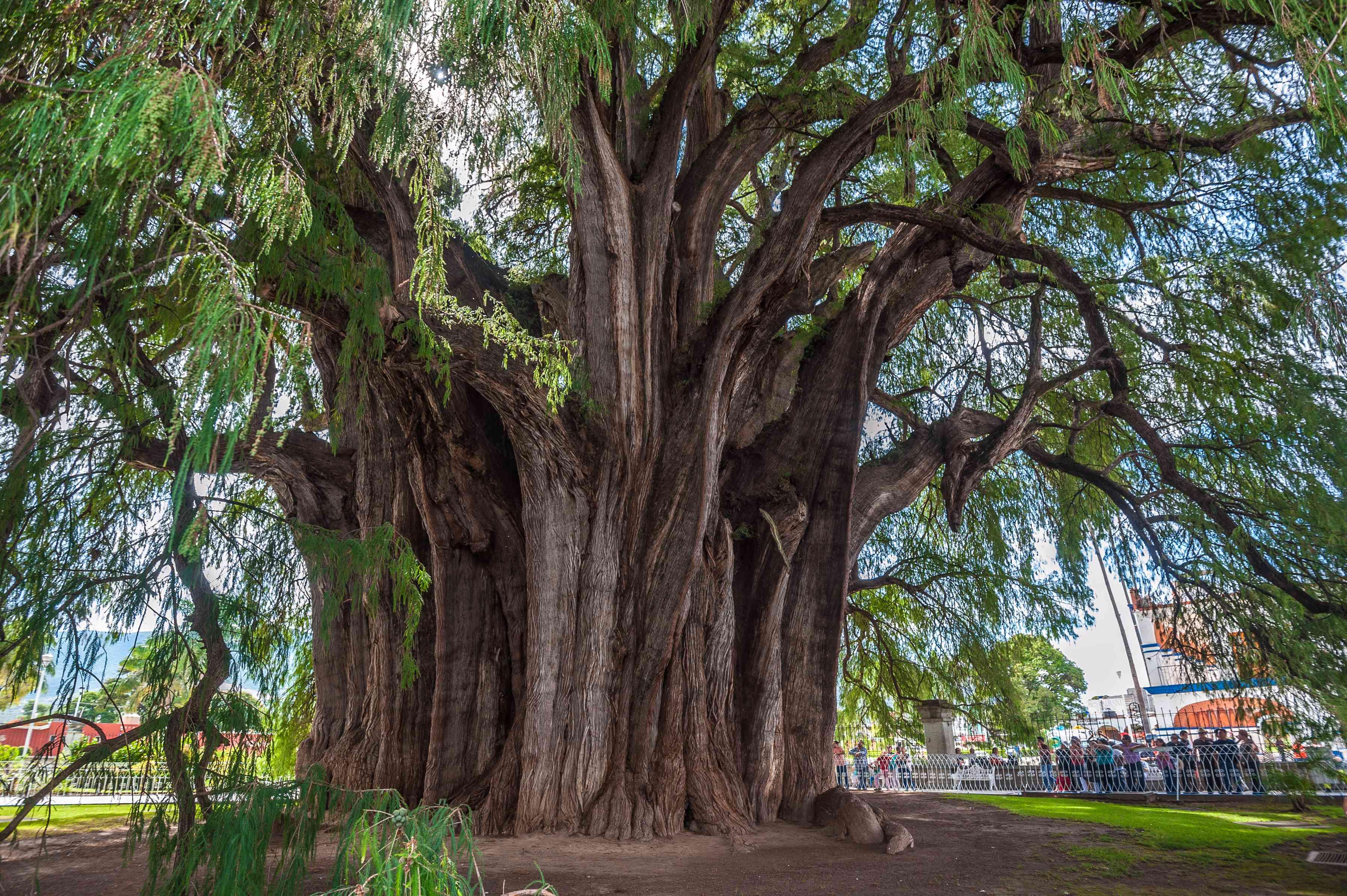 Arbol del Tule, a giant sacred tree in Tule, Mexico