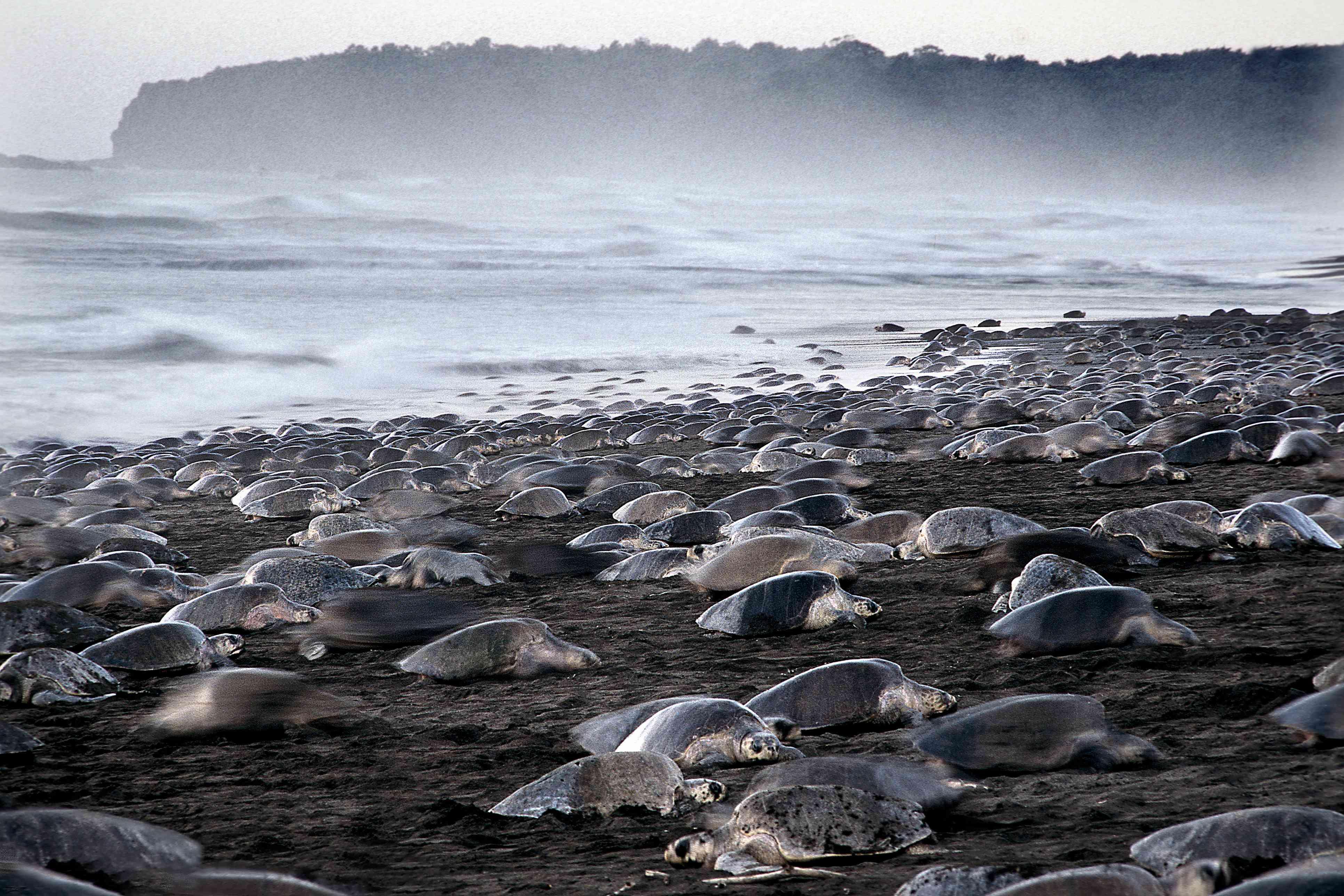Arribada sea turtles