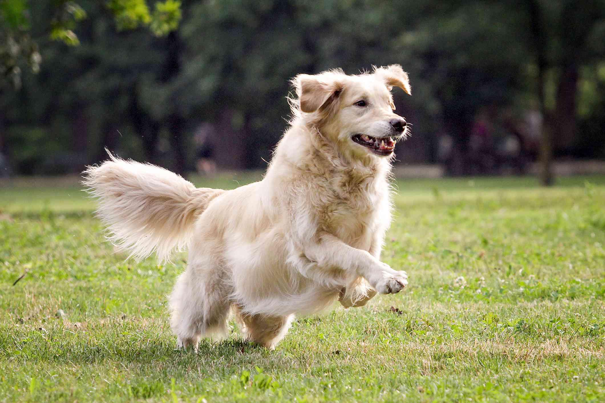 golden retriever mid-run, playing in grassy field