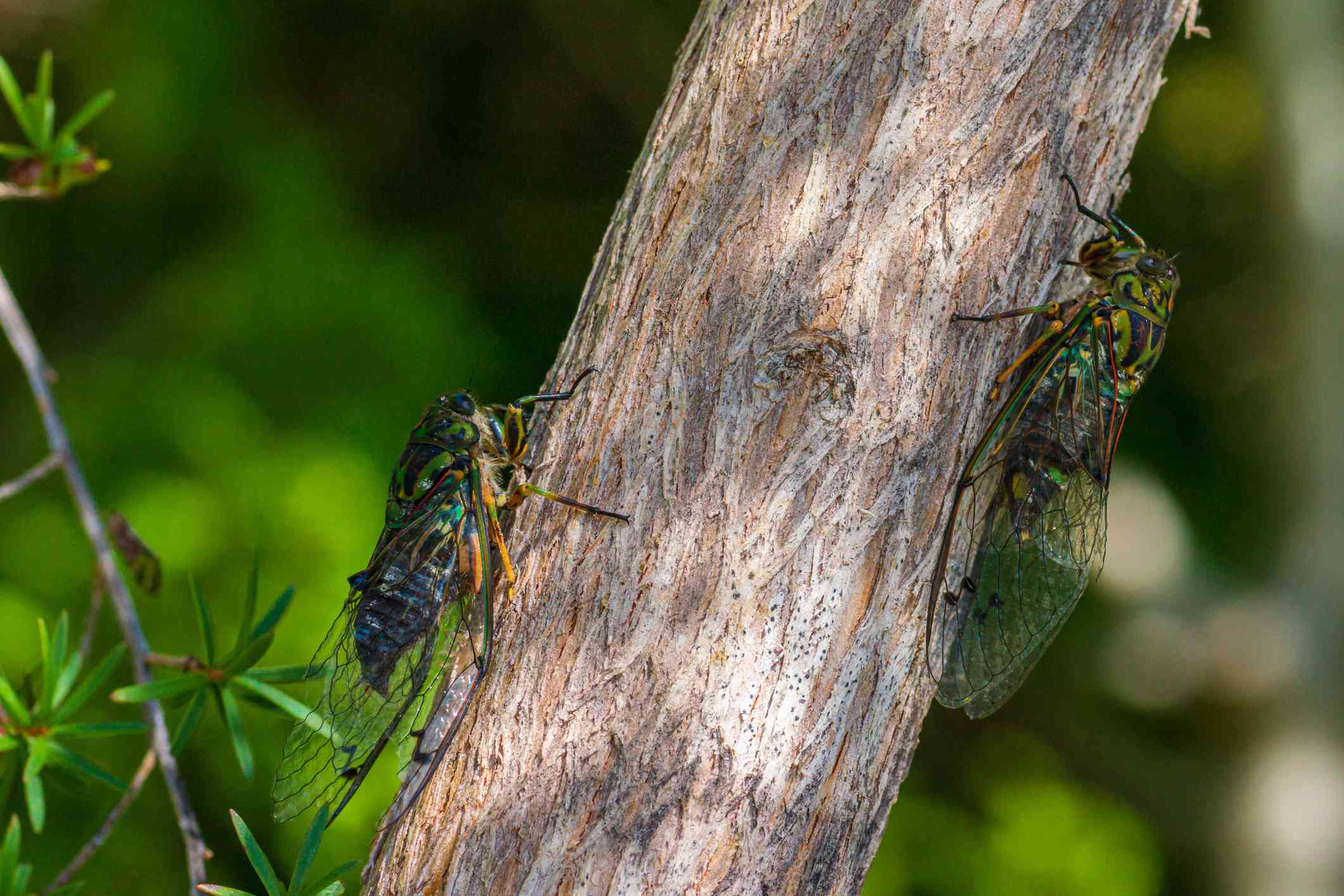 Two cicadas on a tree trunk in New Zealand