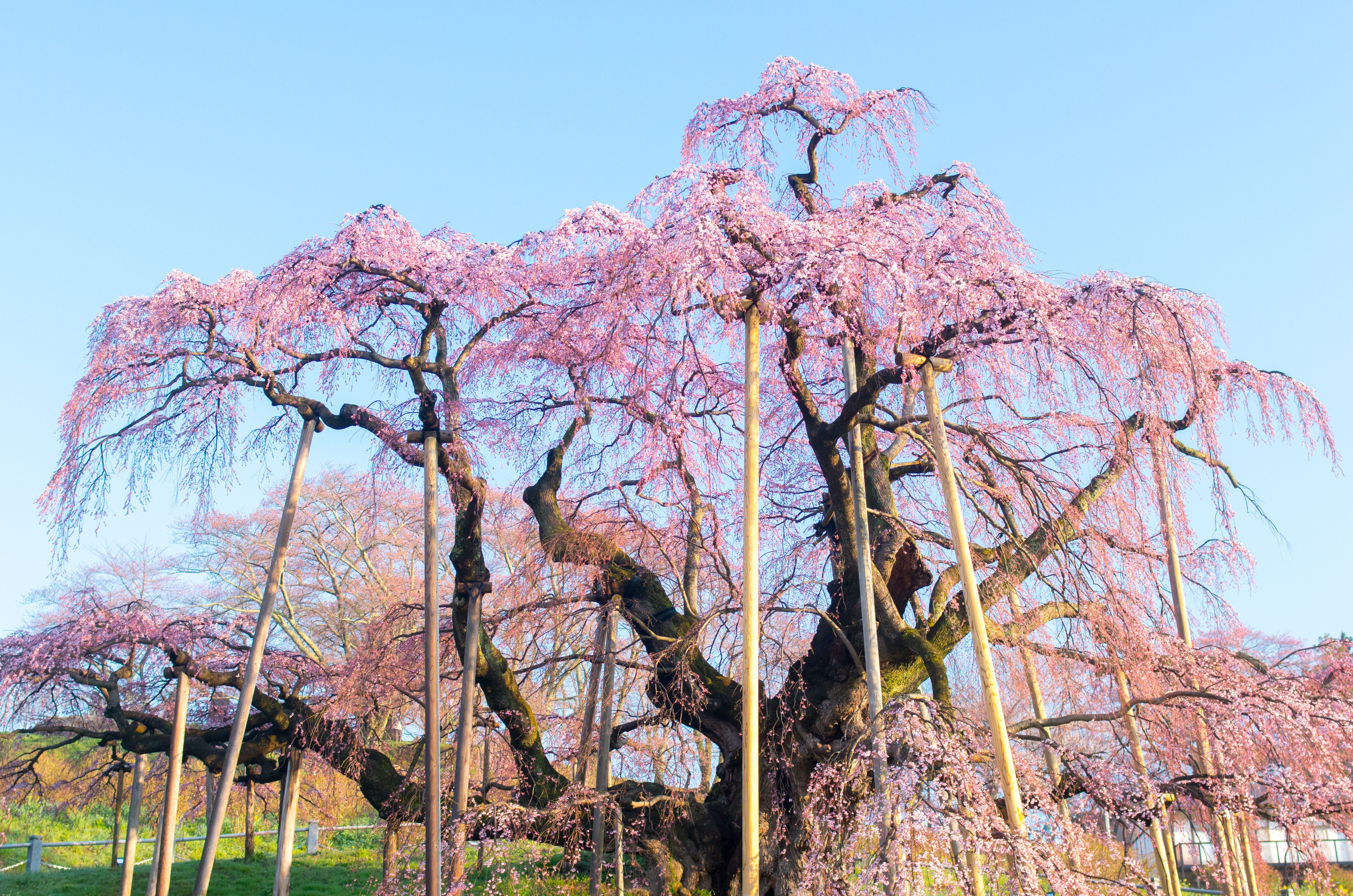 1,000-Year-Old Cherry Tree Blooms in Japan