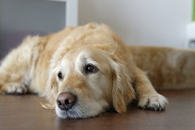 Golden retriever lying on wooden floor