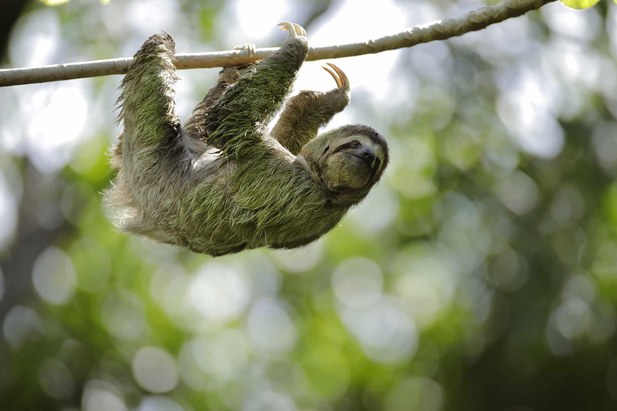 sloth walking on tree branch