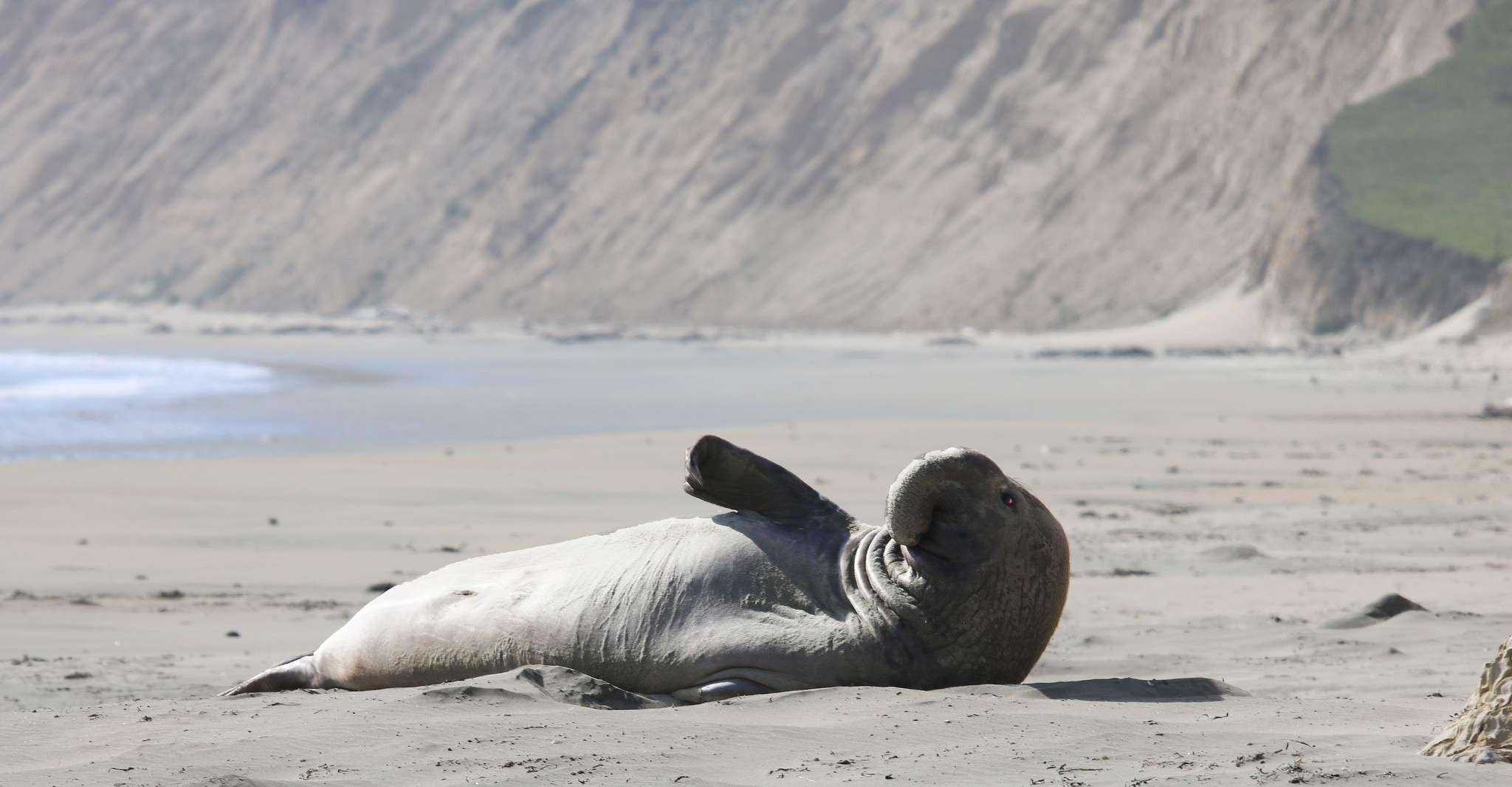 Elephant seal drakes beach