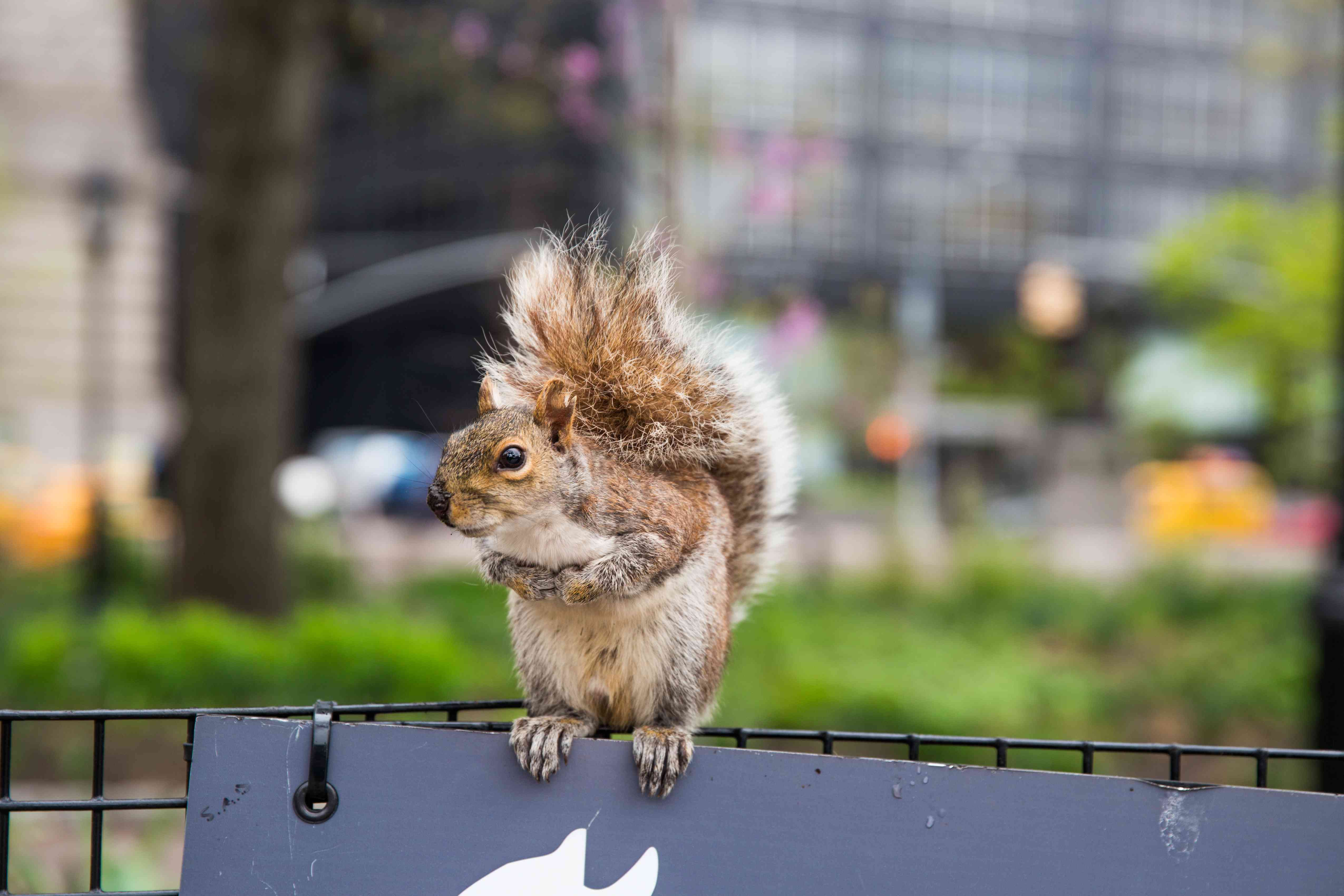 Gray squirrel in Battery Park, New York
