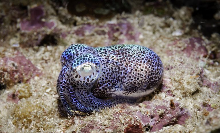 A silvery blue and brown polka dotted bioluminescent bobtail squid sitting on the ocean floor.