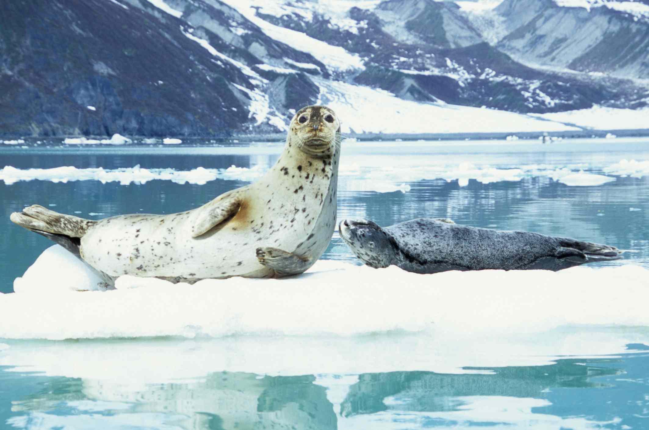 Harbor seal and pup in Glacier Bay