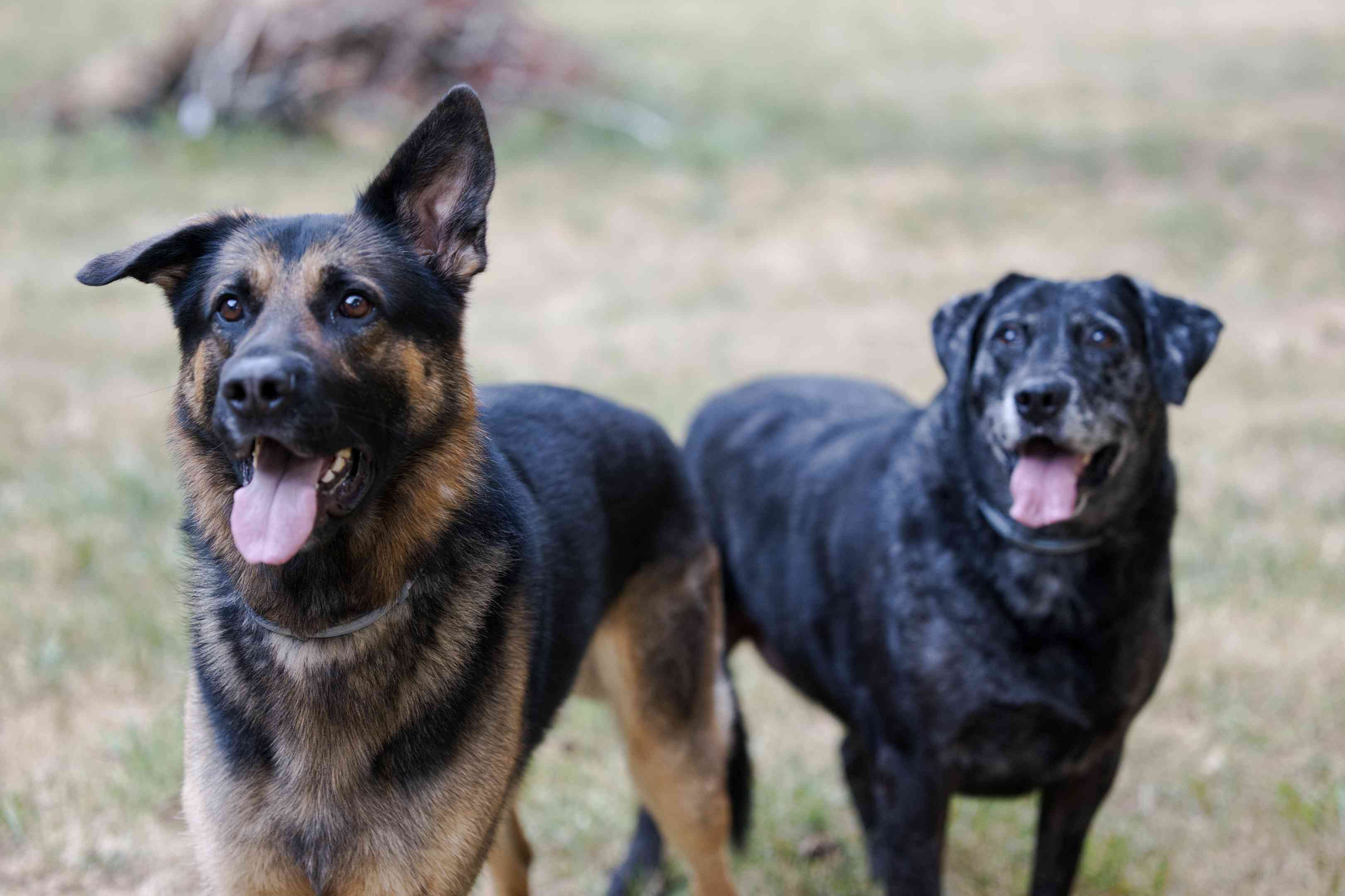 German Shepherd dog and older black dog outside with tongues hanging out