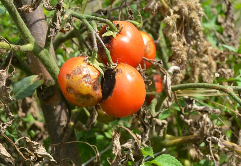 tomatoes rotting on the vine