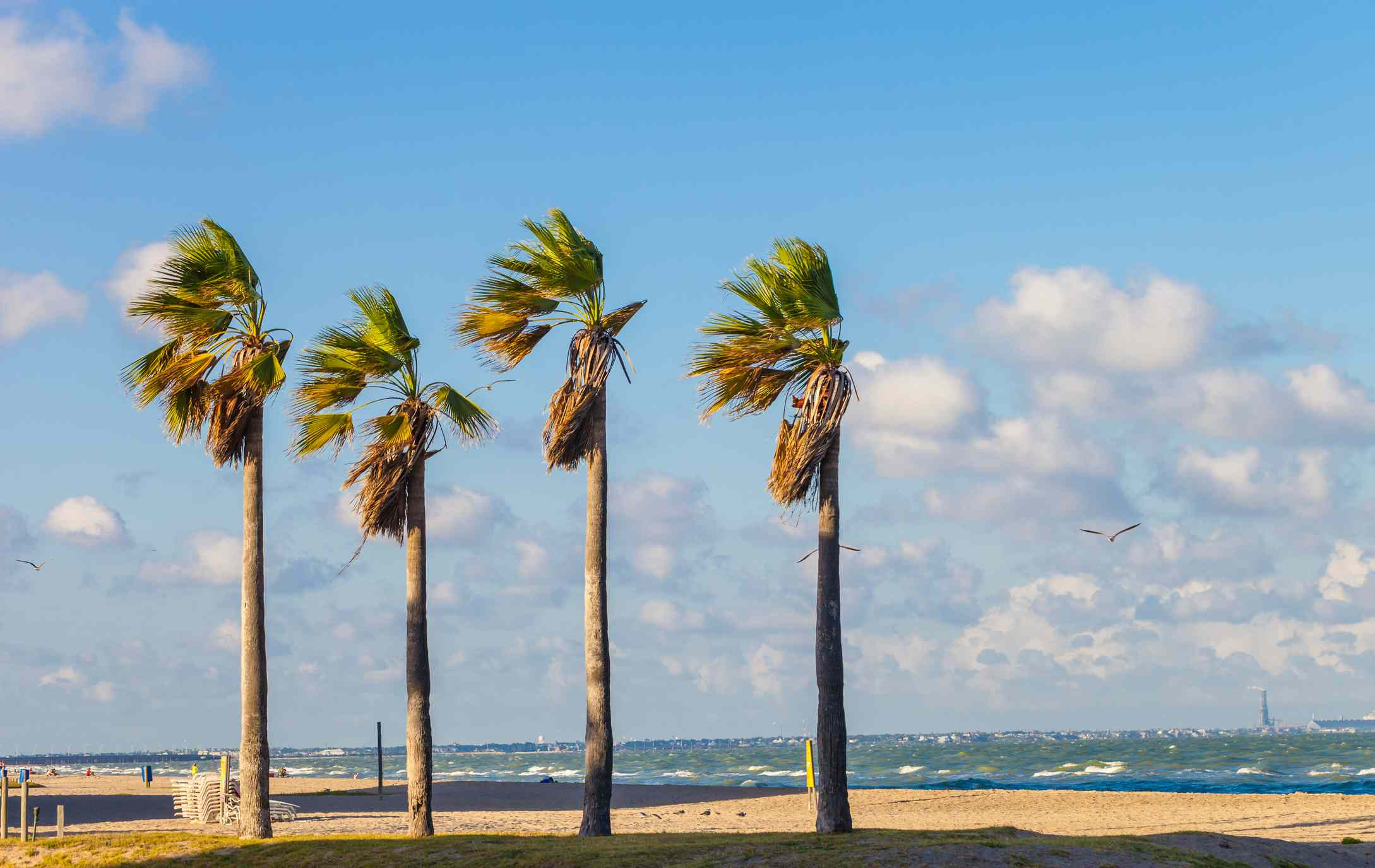Wind-blown palm trees on the beach in Corpus Christi