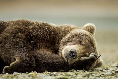 brown bear lying down on its side with face resting on top of paw