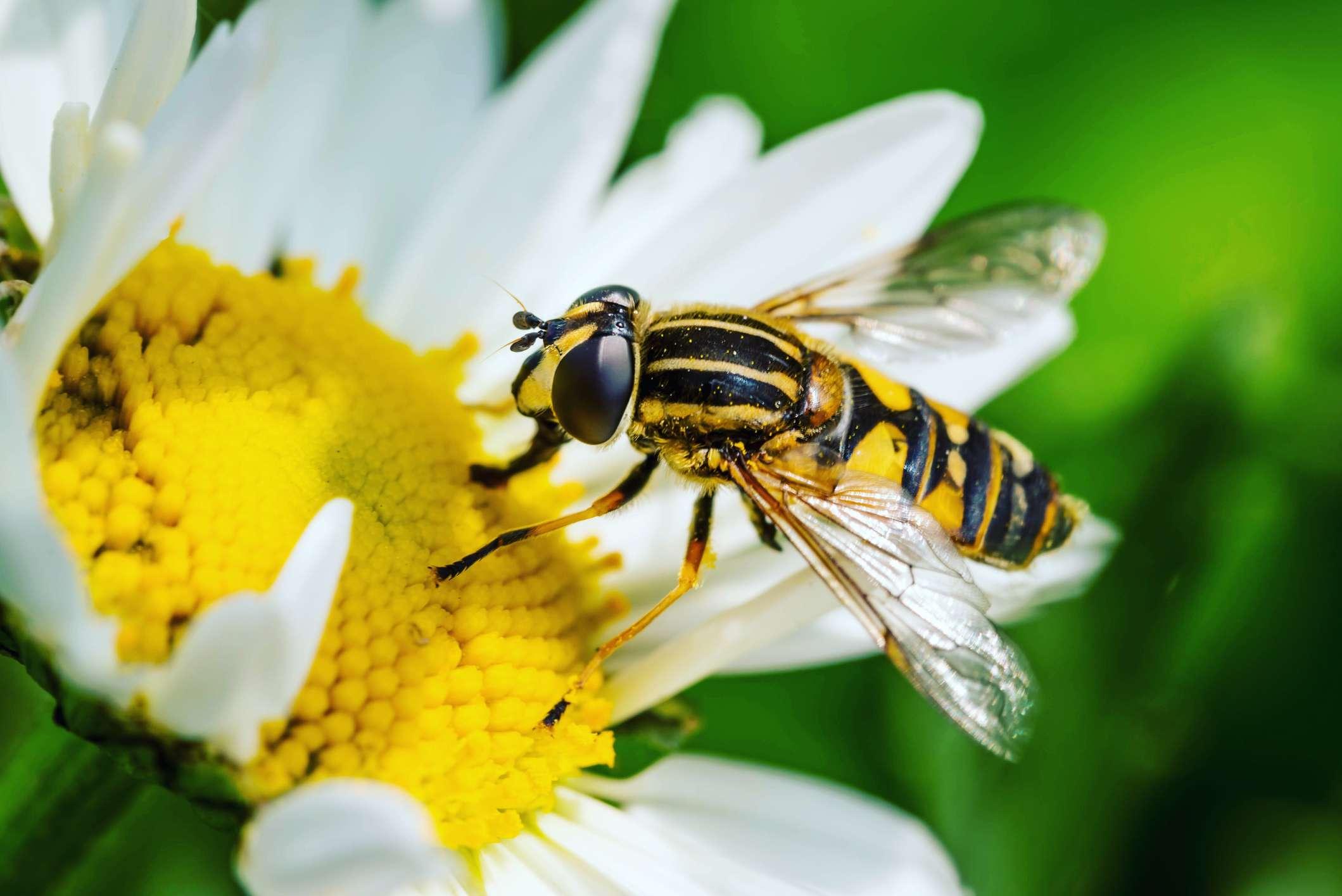 A pollinating wasp in East Boldon, United Kingdom