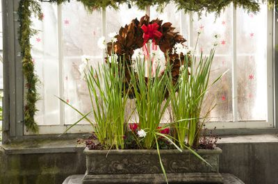 Christmas Reef and Paperwhites in Bloom