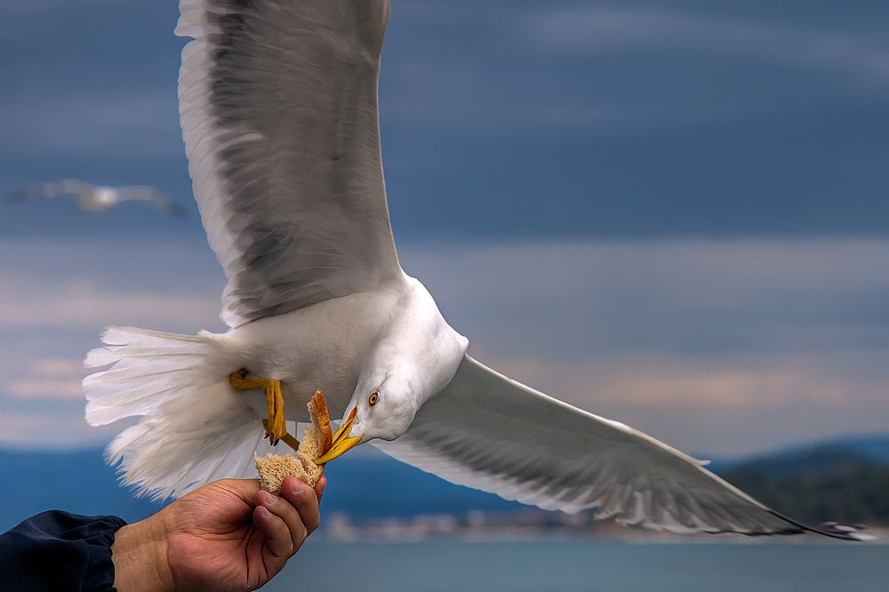 seagull food