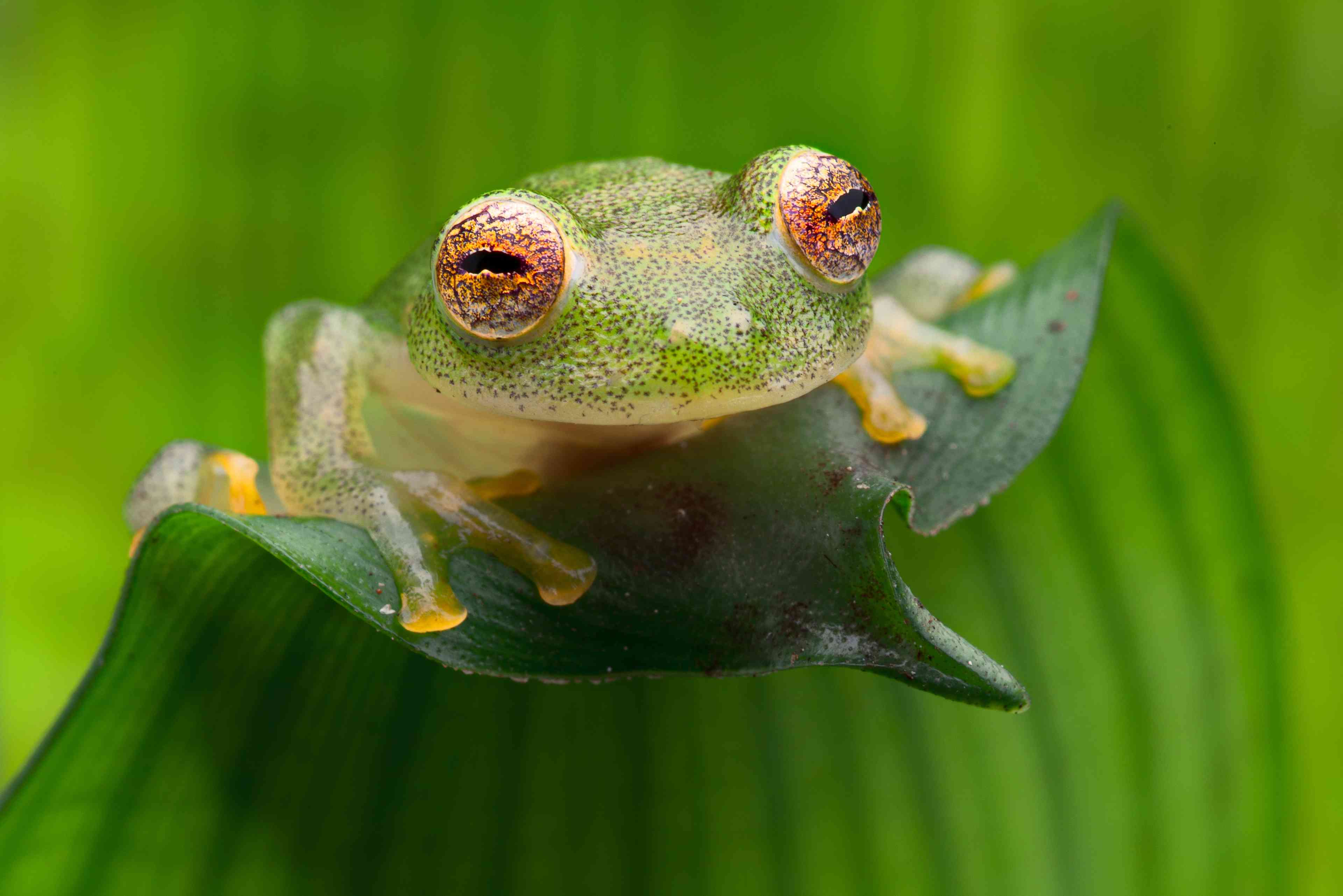 A green tropical glass frog with orange eyes and yellow feet siting on a green leaf