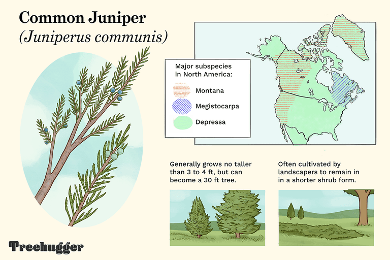 Common Juniper identifying tree illustration