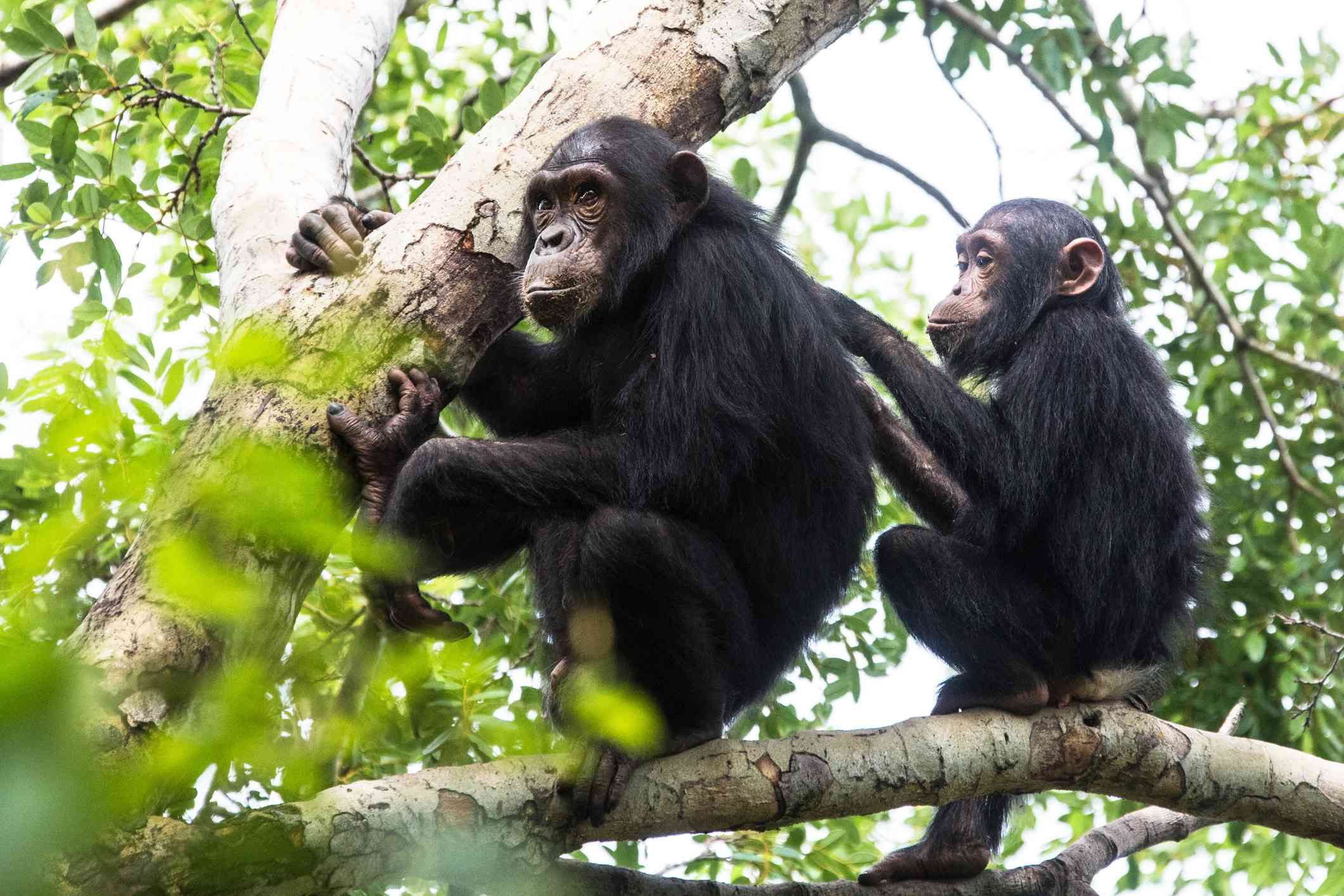 A young chimpanzee grooming an older chimpanzee sitting on a branch
