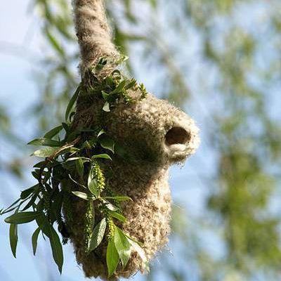 European Penduline Tits build elaborate hanging nests