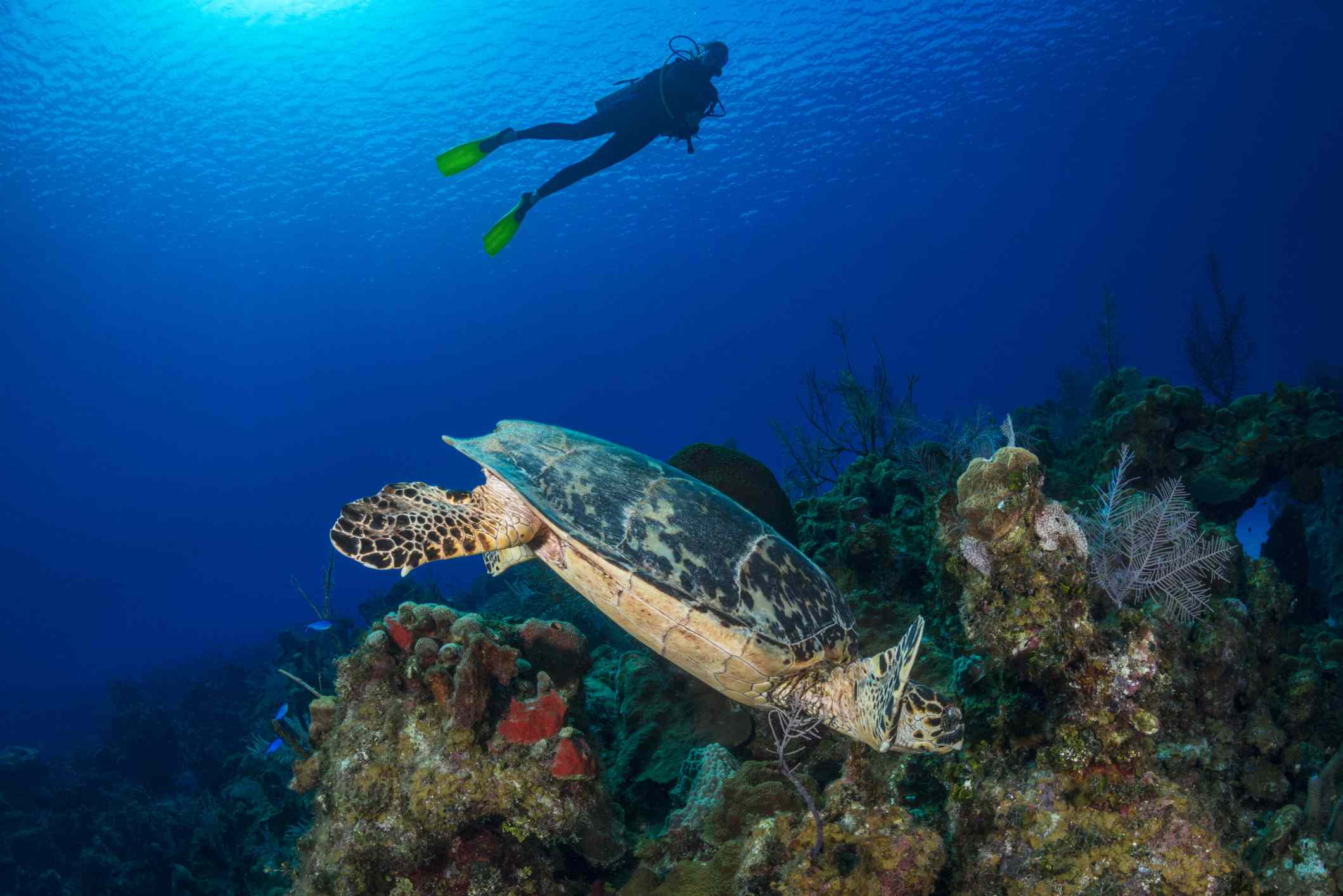 Scuba diver floating above a reef and a Hawksbill turtle in the Cayman Islands