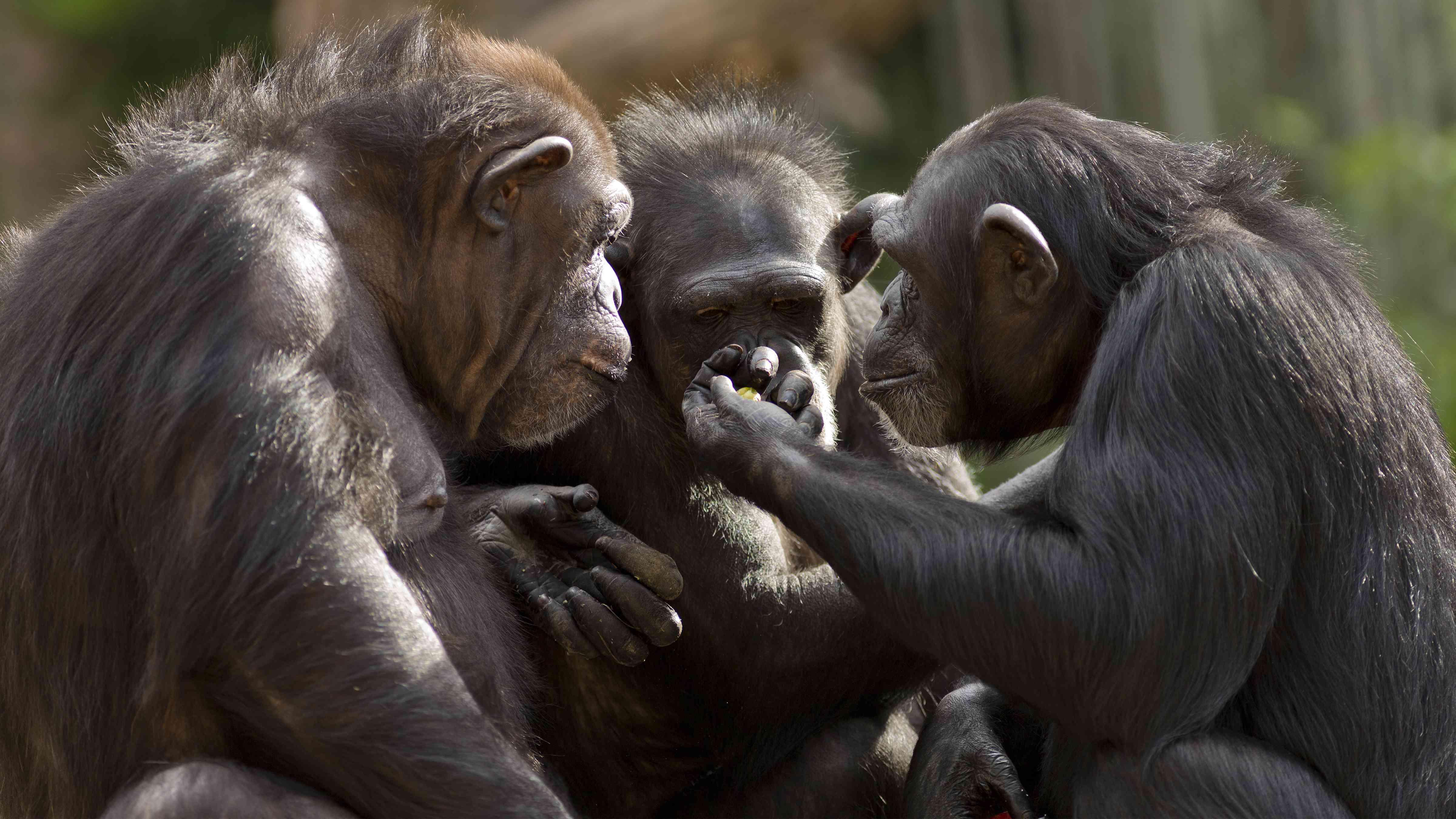 Chimpanzees sitting in a circle.