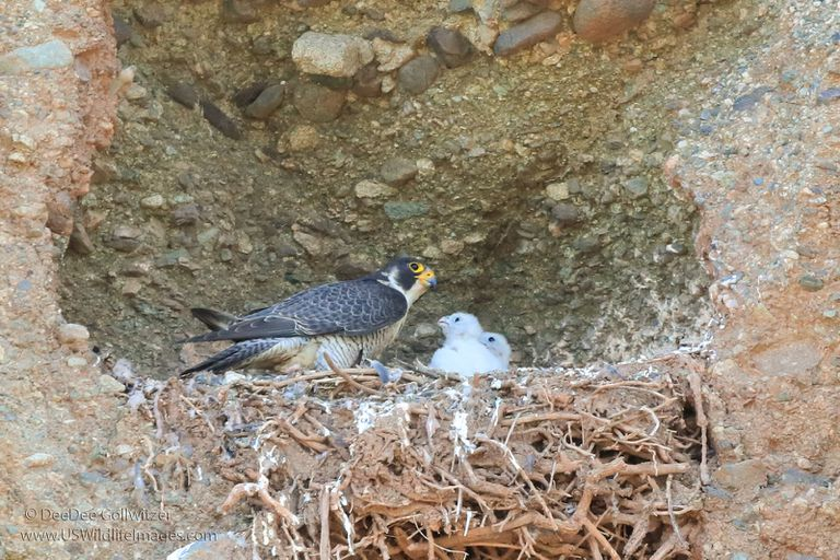 Peregrine falcon feeding its young