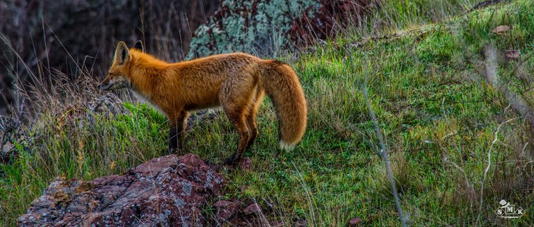 High-color image of a fox standing in a meadow