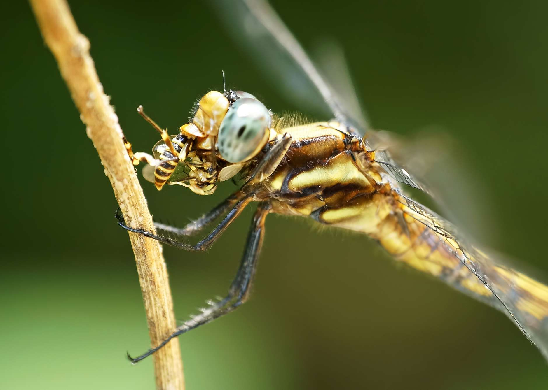 A dragonfly feasts on a small insect.