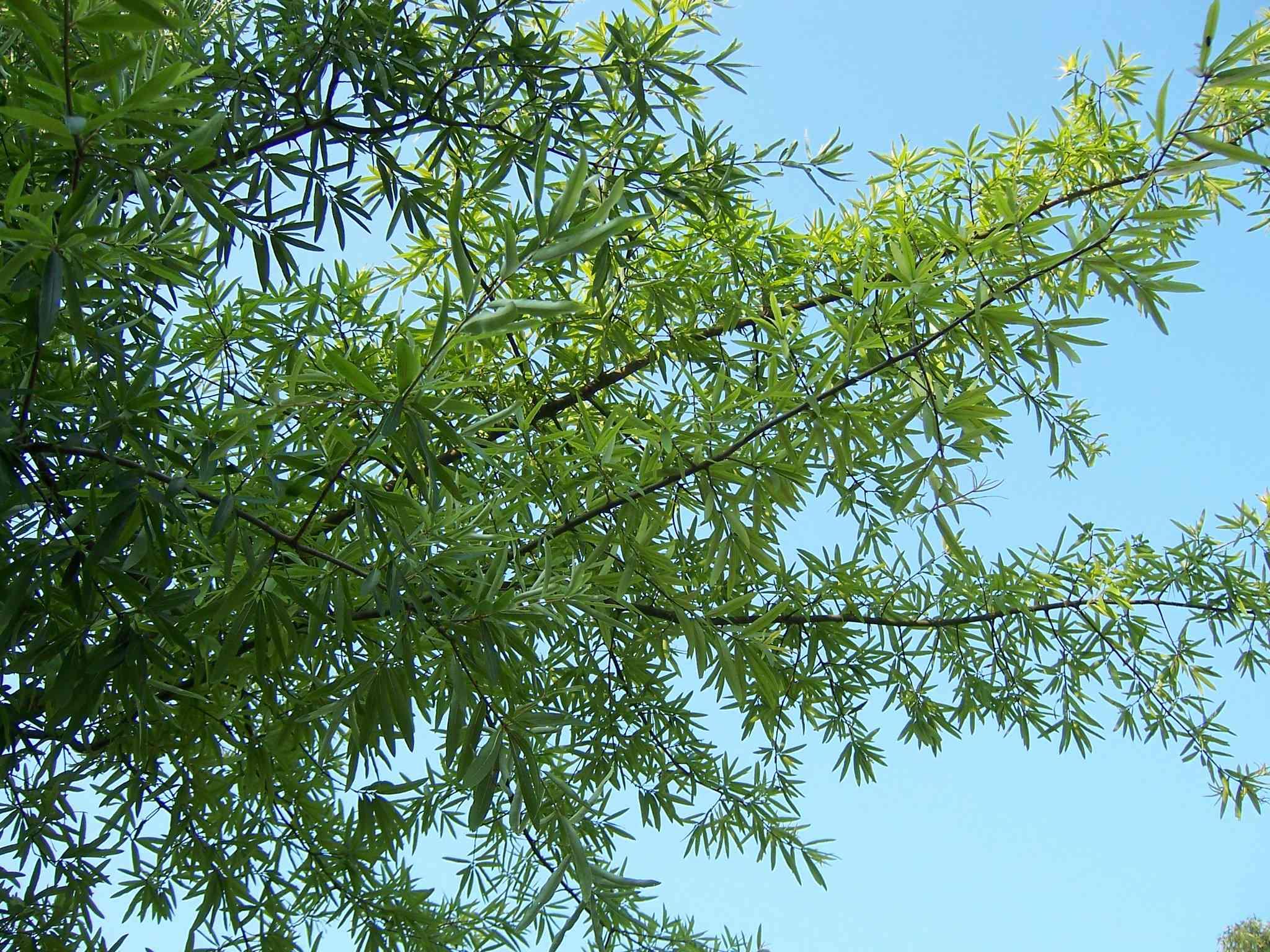 Willow Oak tree against a blue sky.